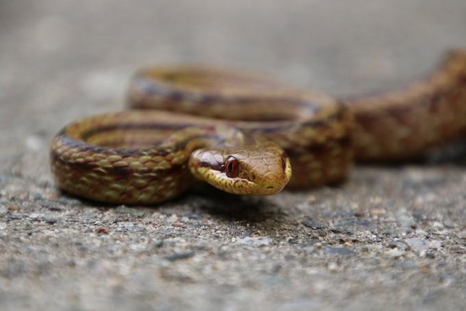 일본 후쿠시마 인근에 서식하는 쥐잡이뱀의 모습이다. 한나 게르크 제공