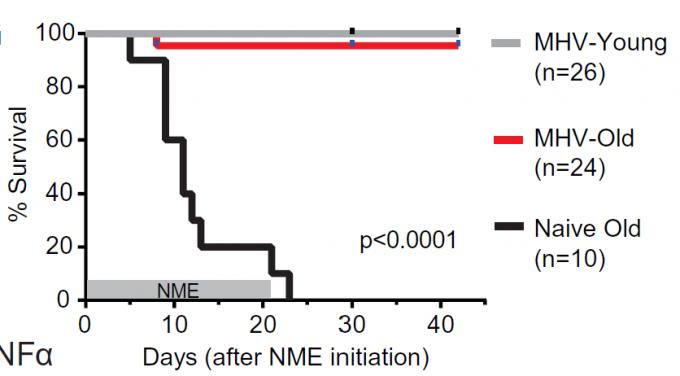 코로나19바이러스와 함께 베타-코로나바이러스에 속하는 생쥐간염바이러스(MHV)는 늙은 생쥐에게 치명적인 병원체다. 무균 환경에서 살던 늙은 생쥐(naive old)가 생활미생물(NME)에 노출되면 3주 만에 100% 죽는다. 반면 병독성이 약한 MHV(생백신)를 접종한 늙은 생쥐(MHV-old)는 생활미생물에 노출돼도 6주까지 치사율이 4%에 불과하다. 사이언스 제공