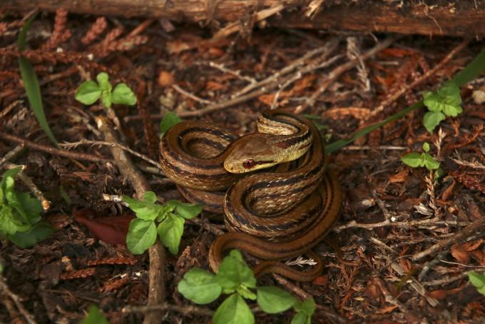 후쿠시마 인근에서 쥐잡이뱀이 또아리를 틀고 있는 모습이다. 한나 게르크 제공