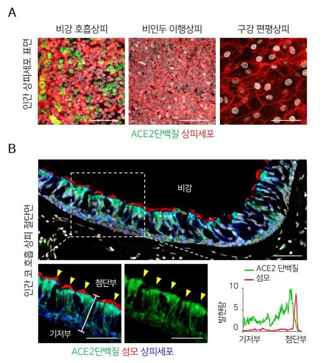 IBS 혈관 연구단이 이끄는 코로나19 대응 공동연구팀은 사스코로나바이러스-2의 대표적인 수용체인 ACE2가 비강 섬모세포에만 다량 존재하며(A), 그중에서도 공기와 맞닿는 첨단부에 집중적으로 분포(B)함을 확인했다. IBS  제공