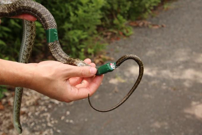 뱀의 꼬리 부분에 위치확인용 송신기를 단 모습이다. 한나 게르크 제공