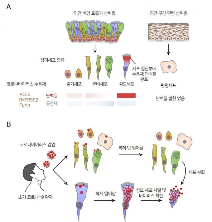 사스코로나바이러스-2의 비강 섬모상피세포 감염 기전. 인간 비강 상피세포의 종류별 사스코로나바이러스-2 수용체 단백질(ACE2, TMPRSS2, Furin)의 발현 양상(A). 이들 단백질이 비강 섬모세포에만 집중적으로 발현함을 알 수 있다. 사스코로나바이러스-2가 비강 섬모상피세포만을 표적 삼아 복제한 후 세포 사멸과 바이러스 전파를 일으키는 병리기전 모식도(B)