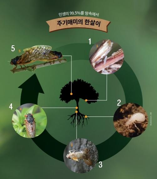 1 . 암컷 매미가 나무 위에 알을 낳고 약 6~10주 뒤 매미 유충이 부화함. 땅으로 내려가 흙 속에 굴을 파고 들어감. 2 유충은 풀과 나무에서 나오는 수액으로 영양분을 섭취하고 성장함. 약 12~13년 동안 5번의 탈피 단계를 거침. 3 17년째가 되면 유충이 땅 위로 나옴. 초기에는 암컷보다 수컷이 많이 나타나고, 약 6일 정도 지나면 암컷들이 더 많이 나타남. 4 땅 위로 나온 지 1시간 정도 지나면 매미는 유충 허물을 벗고 성충이 됨. 초기 성충은 하얗지만 약 5일 뒤 어둡고 단단한 외골격을 형성함. 5 짝짓기가 끝난 뒤 암컷은 나뭇가지에 수백 개의 알을 낳음. 약 한 달 동안 땅 위에서 살다가 죽음.
