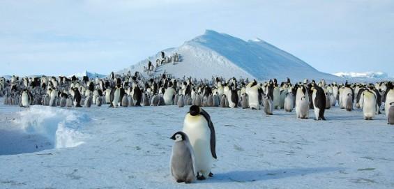 남극 황제펭귄도 멸종위기종 지정…지구온난화로 2100년 서식지 98% 사라져
