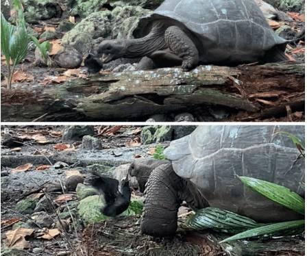 '초식' 거북의 반전…둥지서 떨어진 어린 새 사냥 첫 포착
