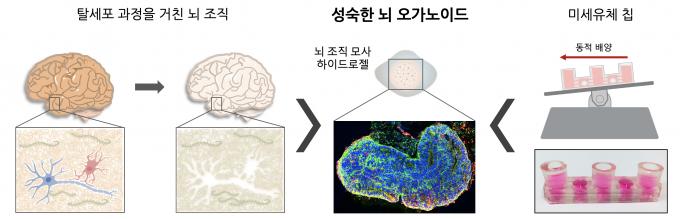IBS 나노의학연구단 [그림1]연구진이 개발한 '인간 미니 뇌 배양 플랫폼' 모식도. IBS 제공