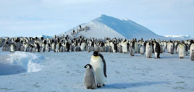 남극의 해빙(바다 얼음)을 서식지로 삼는 황제펭귄. 위키피디어 제공