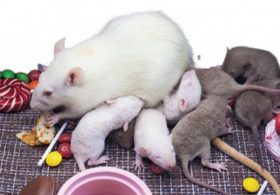모성애는 본능? 암컷 쥐는 엄마 교육을 받는다