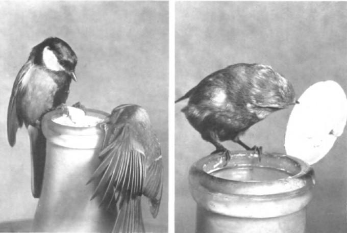 동물 문화에 대한 최초의 보고는 1949년 학술지 '영국 조류'에 발표됐다. 1930년대 박새가 우유병의 종이 뚜껑을 찢어 위에 뜬 크림을 먹는 모습이 포착됐고 10년 사이 이 행동이 영국 전역으로 퍼졌다. 영국 조류 제공