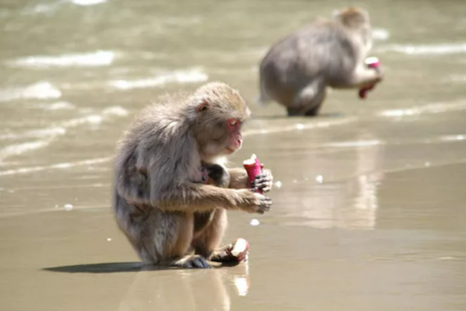1950년대 코지마섬의 일본원숭이 무리에서 고구마를 바닷물에 씻어 먹는 요령이 퍼진 사건은 동물 세계에도 문화가 존재함을 보여준 가장 유명한 사례다. 앤드류 매킨토시와 시실 새러비언 제공