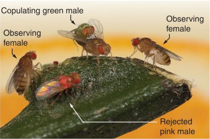 고등 동물뿐 아니라 곤충도 문화생활을 한다는 게 밝혀졌다. 등이 빨간 수컷과 녹색인 수컷 가운데 후자와 짝짓기하는 장면을 지켜본 암컷은 나중에 선택권이 주어졌을 때 녹색 등 수컷을 선호한다. 반대로 빨간 등 수컷과 짝짓기하는 장면을 지켜본 암컷은 빨간 등 수컷을 선호한다. 사이언스 제공