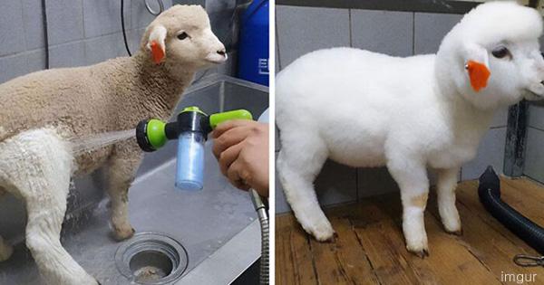 귀여운 양, 목욕 전후 비교 사진 '화제'