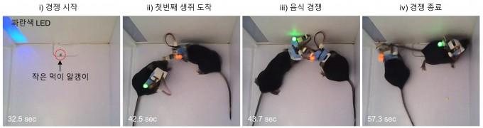 기초과학연구원(IBS)과 한국과학기술연구원(KIST) 공동연구팀이 개발한 초소형 무선 뇌 신호 측정 시스템으로 생쥐의 먹이 경쟁 실험을 진행한 결과, 경쟁 시 목표물을 쟁취하는 것보다 지키는 행동을 할 때 뇌 활동이 더 격렬해지는 것을 확인했다. 경쟁 시 목표물을 쟁취하는 것보다 지키는 행동이 더 힘들고 중요하다는 의미다. IBS 제공