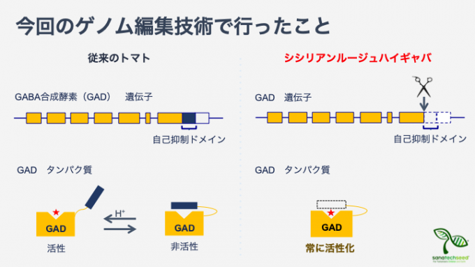 GMO에 대해서는 우리나라와 마찬가지로 유럽 편인 일본이 GEO에 대해서는 미국 편에 섰다. 전통적 육종 방법과 본질적으로 다르지 않다는 것이다. 최근 일본 회사 사나텍시드는 크리스퍼로 아미노산 가바(GABA)의 함량을 4~5배 높인 토마토 시판에 들어갔다. 글루탐산에서 가바를 만드는 효소인 GAD에는 반응을 억제하는 부분이 달려있어(왼쪽 파란색 네모) 효소 활성이 조절되지만 게놈편집으로 이 부분이 발현되지 않게 하면 효소가 늘 활성화돼 가바가 많이 만들어진다(오른쪽). 사나텍시드 제공