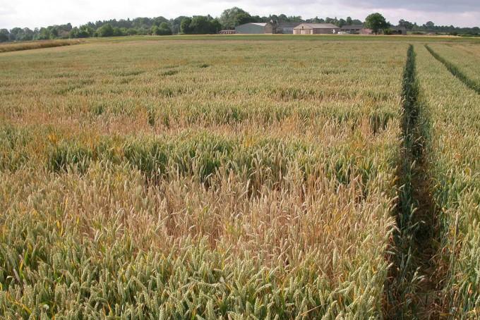 영국의 로탐스테드연구소는 게놈편집으로 아미노산 아스파라긴을 덜 합성하는 밀을 만들어 현장 재배에 들어갈 예정이다. 유리 아스파라긴은 조리과정에서 발암물질인 아크릴아마이드로 바뀌므로 이를 덜 만드는 게놈편집 밀은 좀 더 안전한 먹을거리가 될 수 있다. 최근 영국 정부는 게놈편집 작물 현장 재배 조건을 크게 완화했다. 로탐스테드연구소 제공